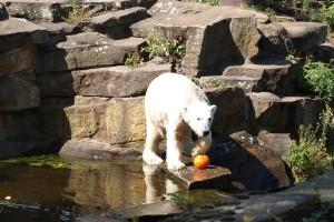 Knut ein berühmter Berliner