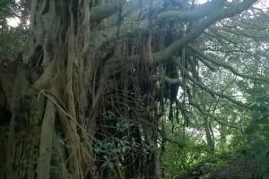 16.08.2015 Baum auf Mt. Hobson